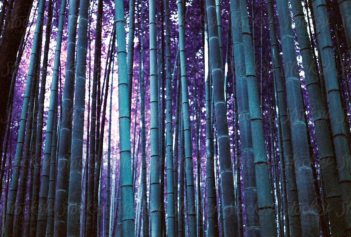 Purple Bamboo Forest With Bright Sunlight By Hayden Williams