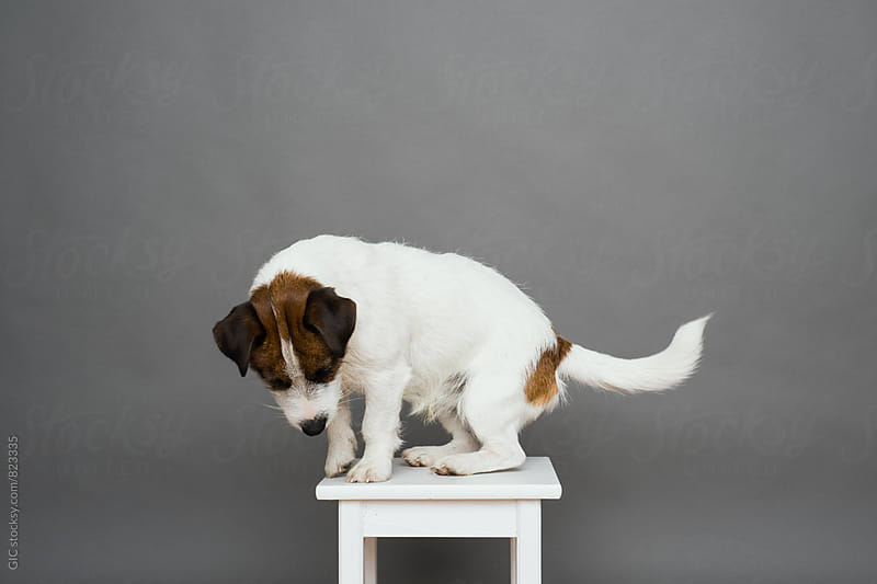 Cute Jack Russell portrait by Simone Becchetti for Stocksy United