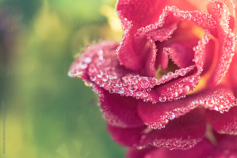Dew Drops on Pink Rose Bloom by suzanne clements for Stocksy United