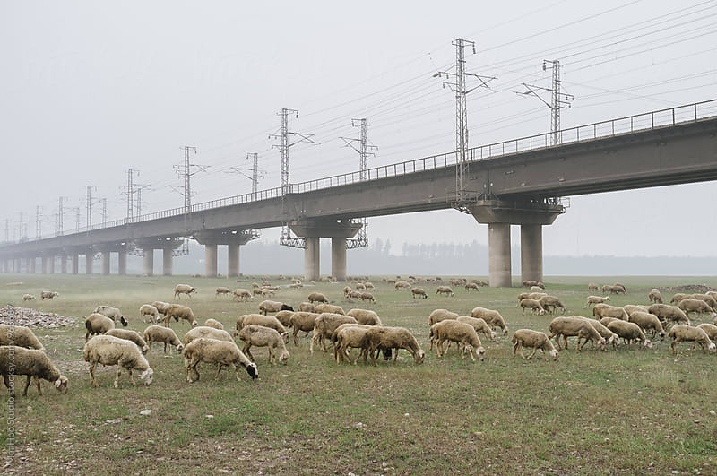 Flock of sheep in the suburb of Beijing,China,Beside a railway track bridge by MaaHoo Studio for Stocksy United