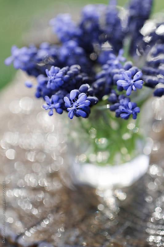Blue Grape Hyacinth by Dobránska Renáta for Stocksy United
