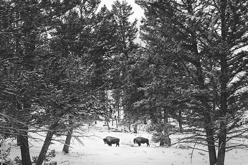 Two bison in snow by Arthur Chang for Stocksy United