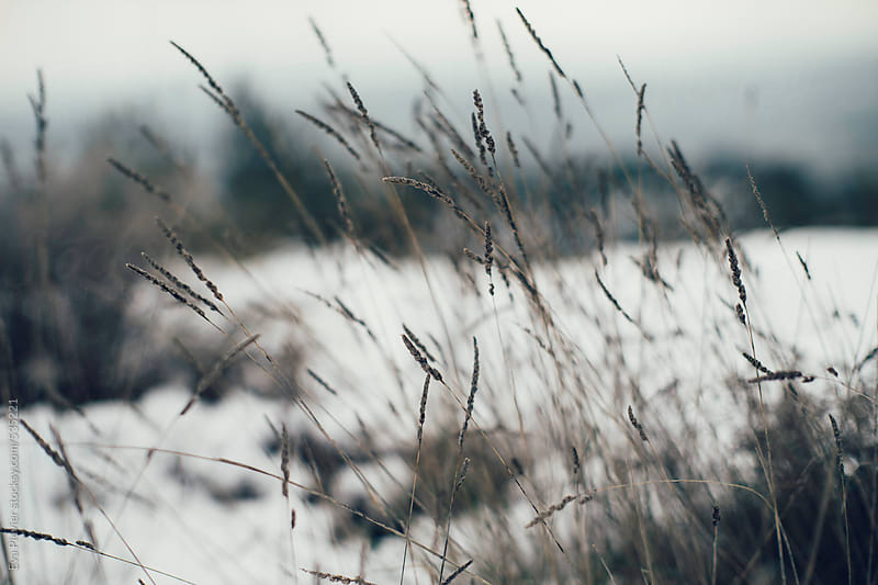 Plants in the snow. by Eva Plevier for Stocksy United