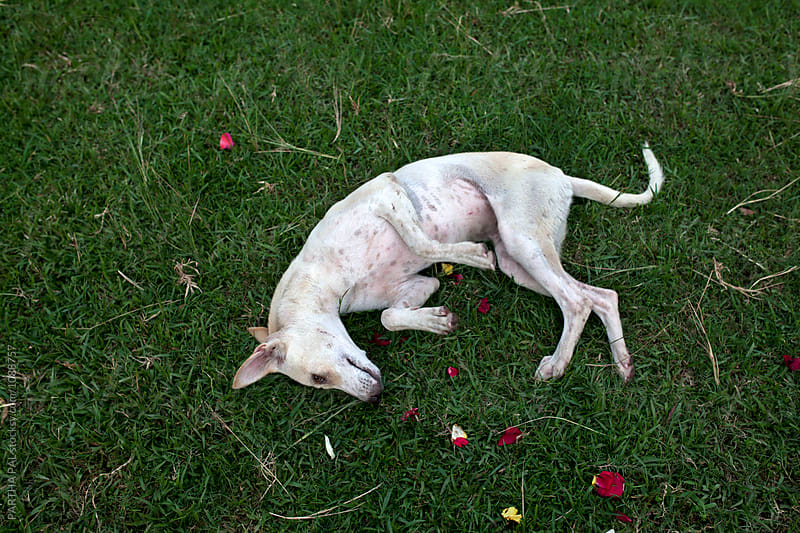 A stray dog lying on the ground and posing by PARTHA PAL for Stocksy United