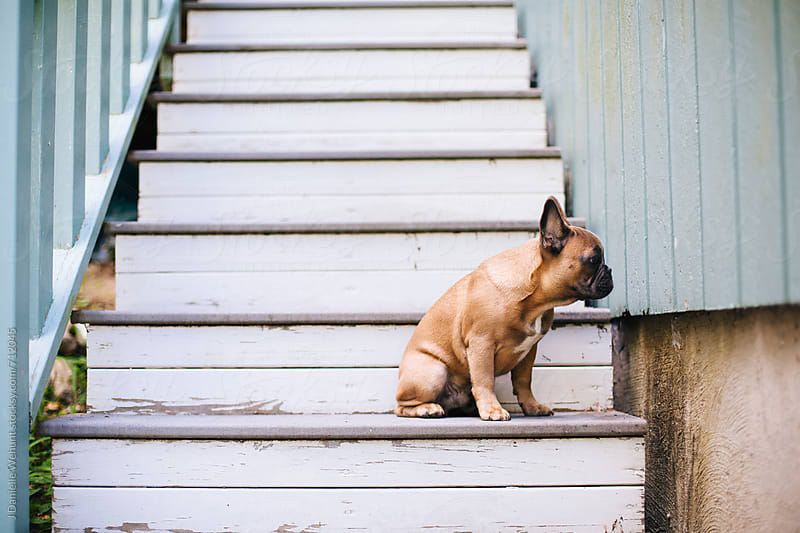 A brown french bulldog puppy sitting on stairs outside. by J Danielle Wehunt for Stocksy United