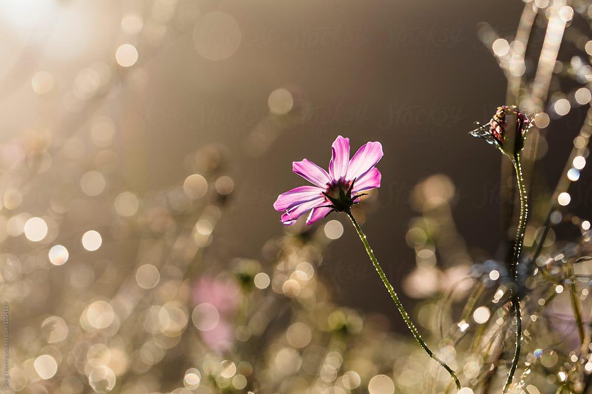 Water droplets on a pink flower with bokeh under backlight stocksy water droplets on a pink flower with bokeh under backlight by song heming for stocksy united mightylinksfo