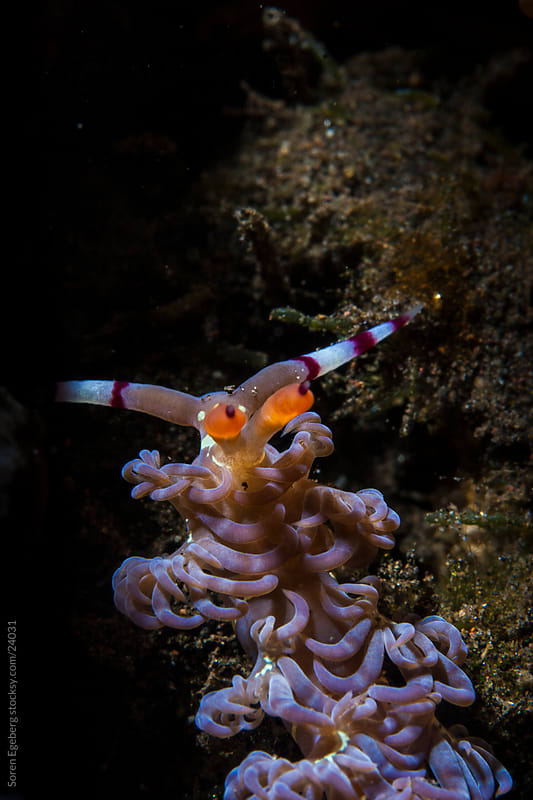 Nudibranch crawling on the coral reef  underwater in Indonesia by Soren Egeberg for Stocksy United