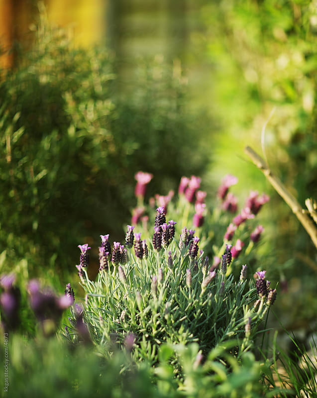 French lavender  by kkgas for Stocksy United