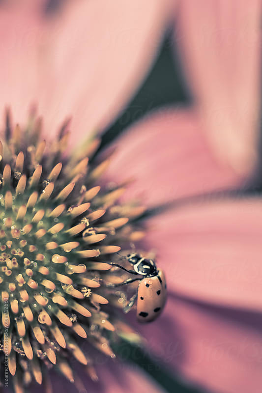 Ladybug on a Pink Echinacea Flower by suzanne clements for Stocksy United