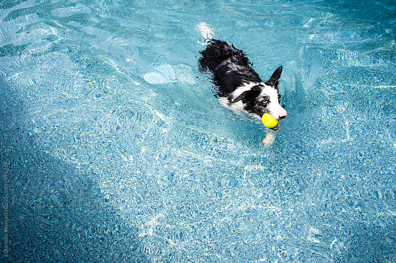 black and white border collie dog swimming in pool  by J Danielle Wehunt for Stocksy United