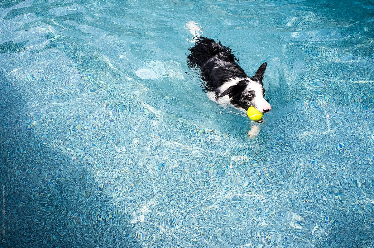 black and white border collie dog swimming in pool by J