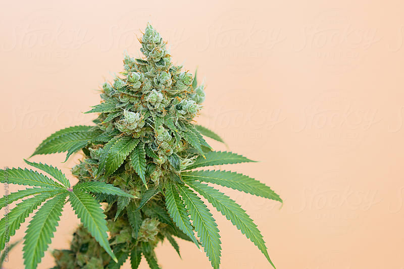 marijuana plant on orange background by Cameron Zegers for Stocksy United