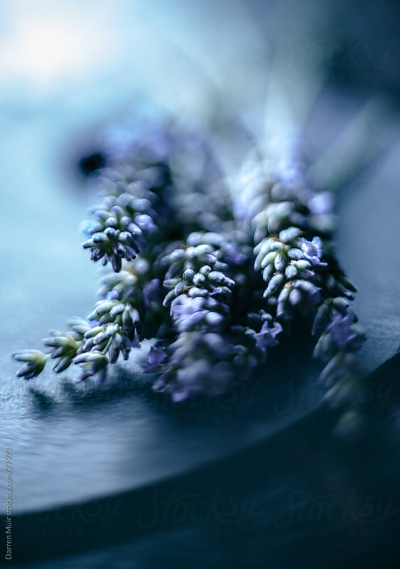 English lavender.  by Darren Muir for Stocksy United