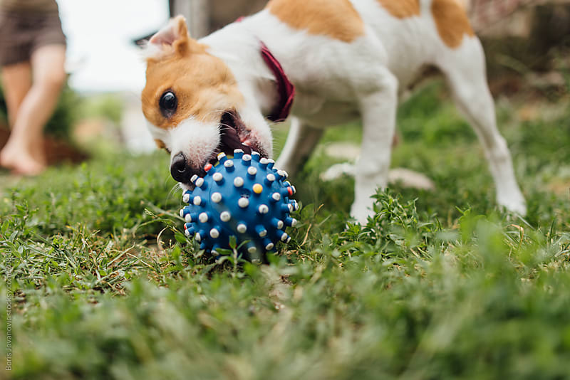 Jack russel puppy playing with ball  by Boris Jovanovic for Stocksy United