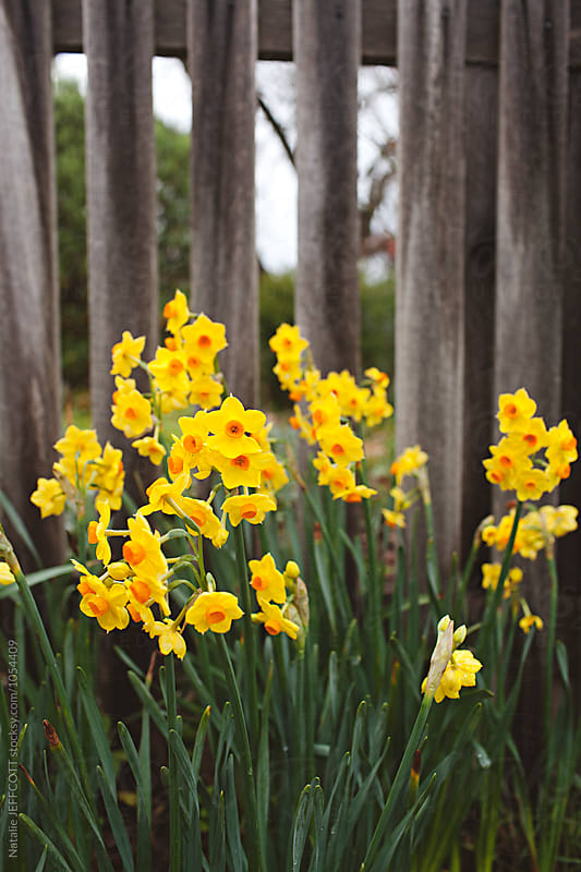 Yellow jonquils in bloom in front of wooden picket fence by Natalie JEFFCOTT for Stocksy United