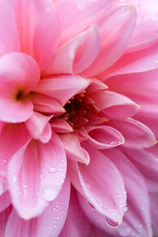 Close-up of pink Dahlia with waterdrops by Melanie Kintz for Stocksy United