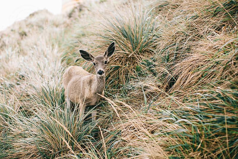Deer by Lukas Korynta for Stocksy United