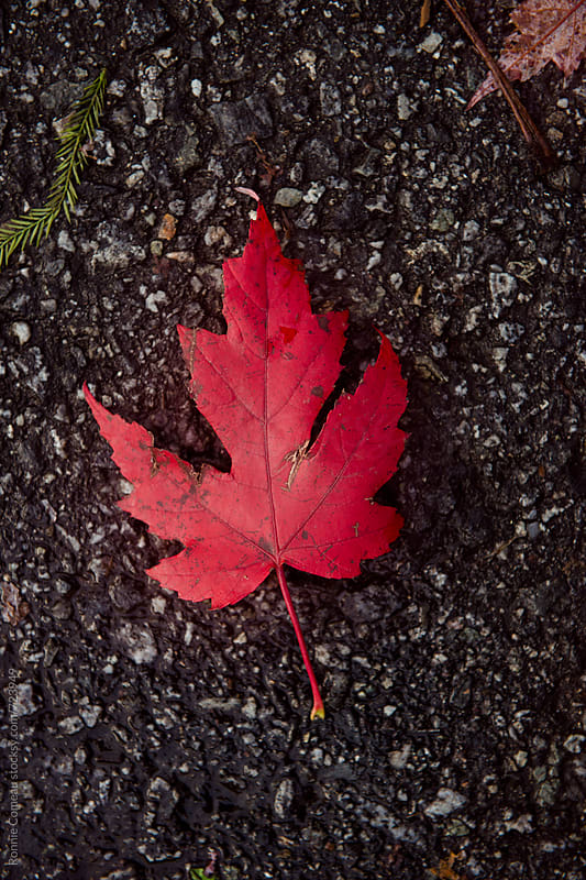 Canadian Maple Leaf by Ronnie Comeau for Stocksy United