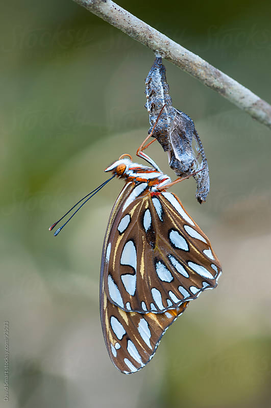 Gulf Fritillary butterfly,  metamorphosis complete, and chrysalis by David Smart for Stocksy United