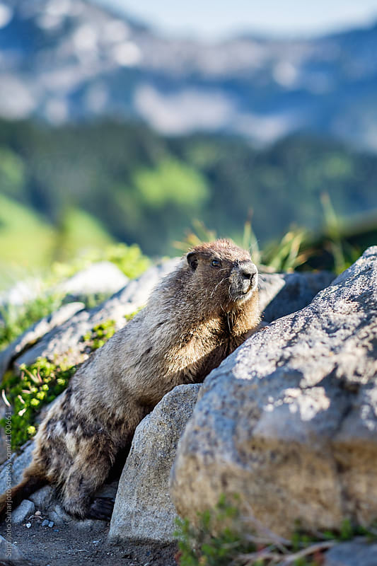 Hoary Marmot on Mt Rainier in Washington State USA by Suprijono Suharjoto for Stocksy United
