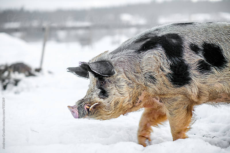 pigs on a winter farm by Andreas Gradin for Stocksy United