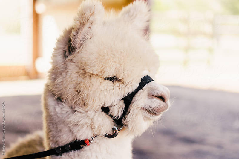 A baby alpaca on a leash in a barn. by Deirdre Malfatto for Stocksy United