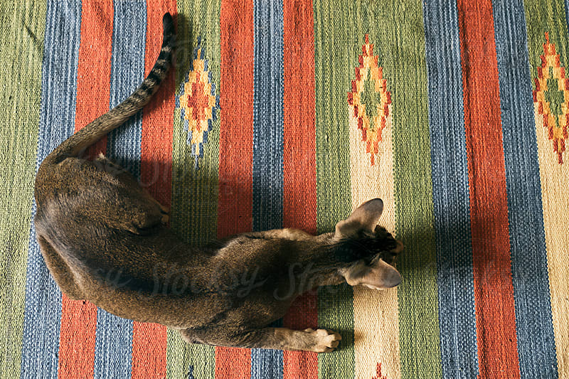 Oriental cat on colorful rug in motion by Danil Nevsky for Stocksy United