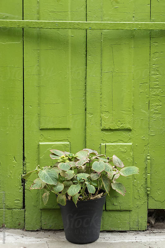 Hydrangea plant in a pot in front of a green door by Melanie Kintz for Stocksy United