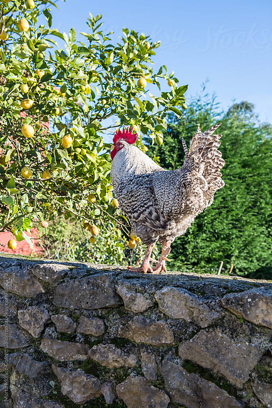 Rooster on a stone wall by Marta Muñoz-Calero Calderon for Stocksy United