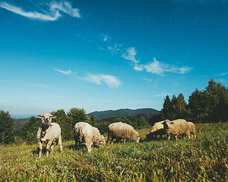 Flock of Sheep at the Mountain by Marija Savic for Stocksy United