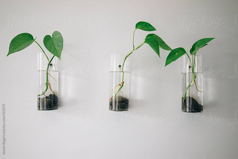 Three Plants in Glass Vases on White Wall by Austin Rogers for Stocksy United