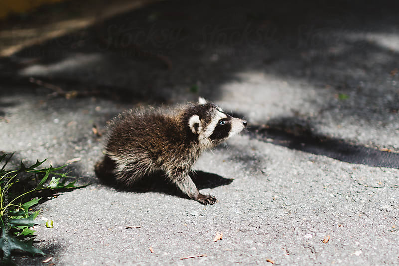 Baby Raccoon by Taylor Kampa for Stocksy United