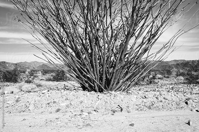 Ocotillo cactus in Mojave Desert, Joshua Tree NP, CA by Paul Edmondson for Stocksy United