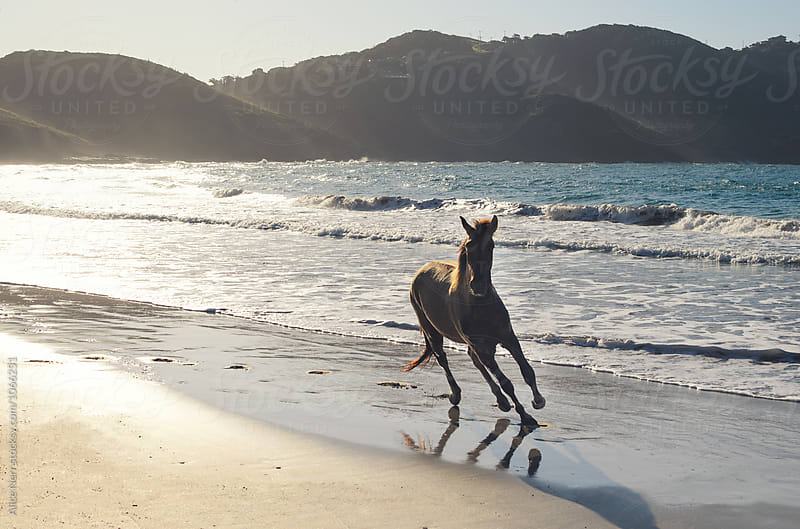 Horse running along the beach in golden sun light by Alice Nerr for Stocksy United