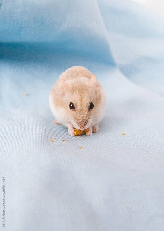 Russian hamster eating by ACALU Studio for Stocksy United