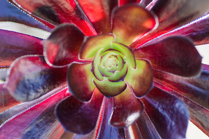 Purple cactus seen from above by ACALU Studio for Stocksy United
