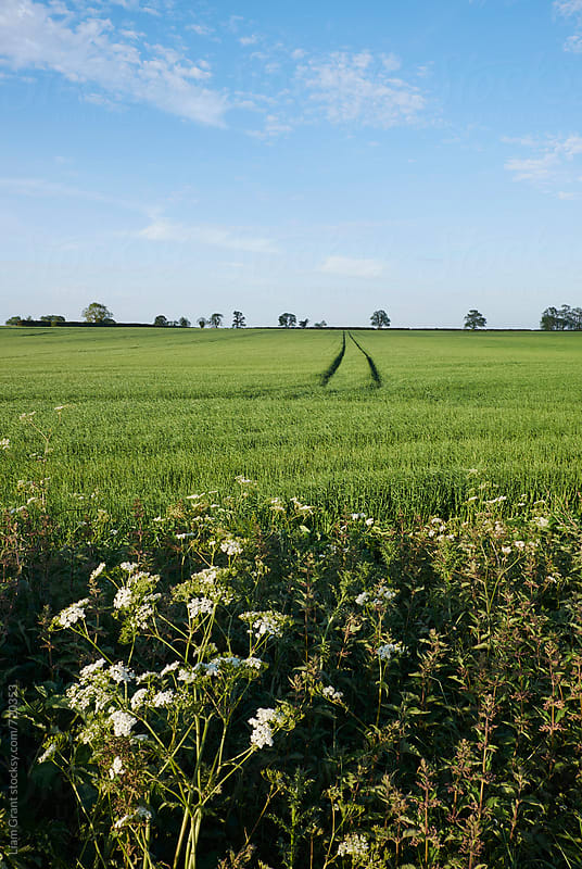 Track through a green field. Norfolk, UK. by Liam Grant for Stocksy United