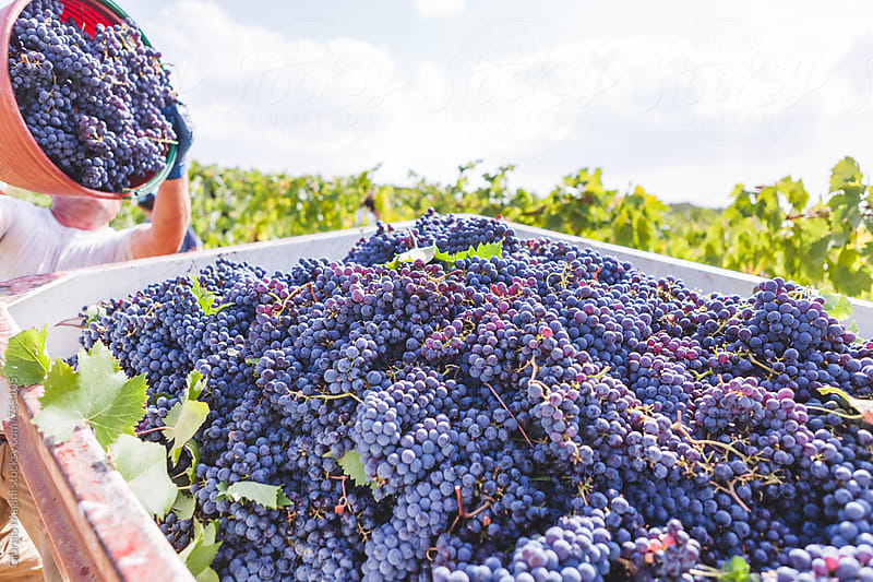 Pouring a Bucket of Red Grapevines in the Wagon, Grape Harvest in Tuscany by Giorgio Magini for Stocksy United