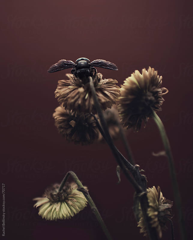 Black bee on dry yellow flowers by Rachel Bellinsky for Stocksy United