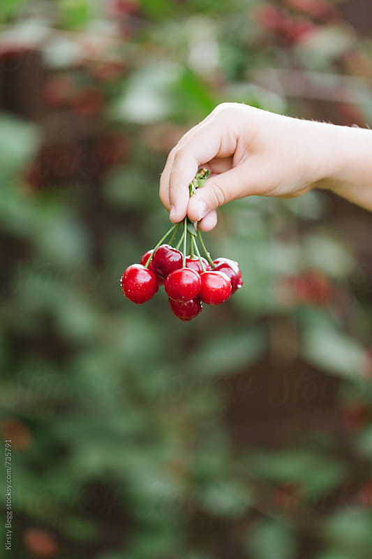 Vertical shot with copy space of child's hand with bunch of cherries by Kirsty Begg for Stocksy United