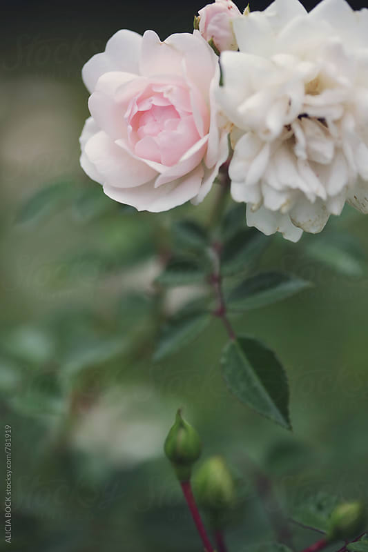 A Fading Rose And A New Rose Growing Together In A Summer Garden by ALICIA BOCK for Stocksy United