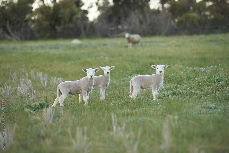 Three Lambs Looking At The Camera by Adrian Young for Stocksy United