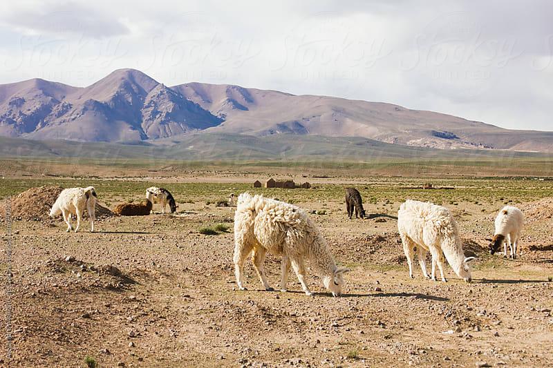 Llamas on pasture by Alejandro Moreno de Carlos for Stocksy United