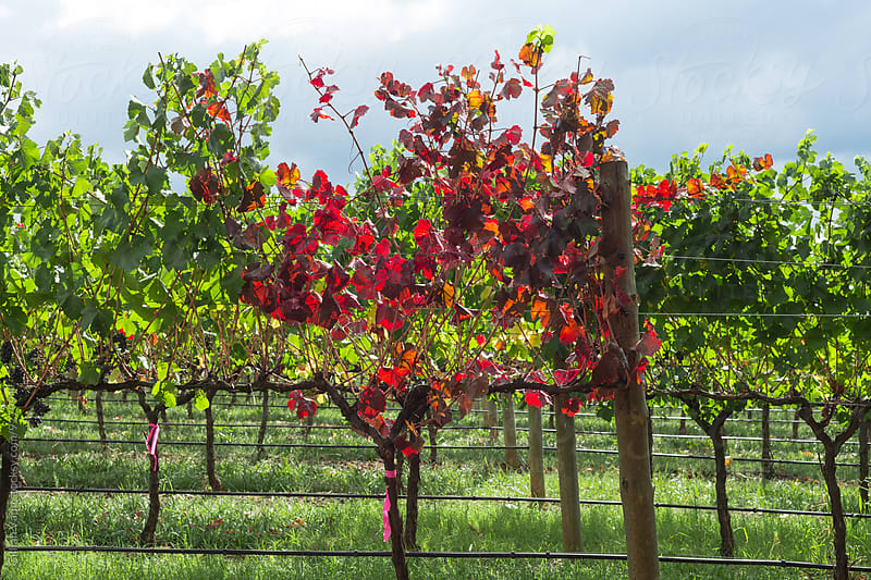 first showing of autumn in the vineyard by Gillian Vann for Stocksy United