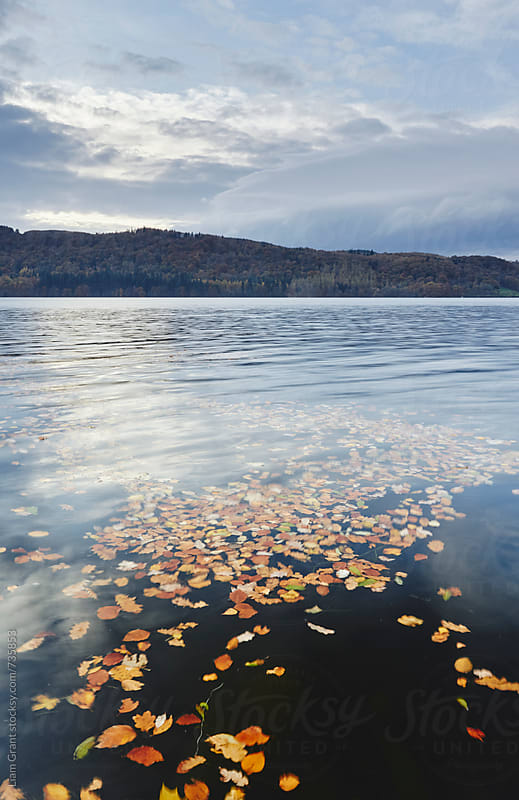 Autumnal leaves on the surface of Lake Windermere. Cumbria, UK. by Liam Grant for Stocksy United