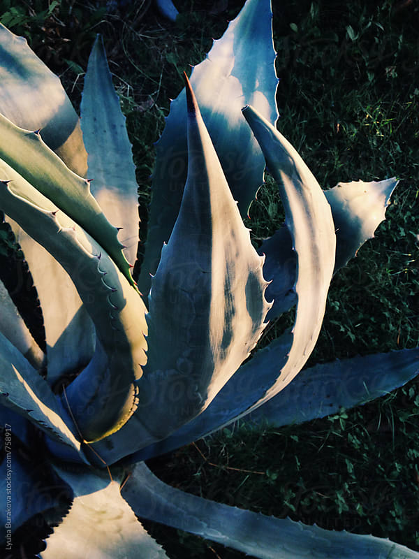 Agave leaves at sunset by Lyuba Burakova for Stocksy United