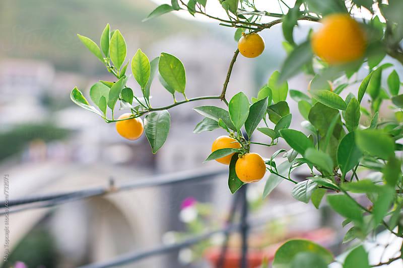 Mandarine tree by Maja Topcagic for Stocksy United