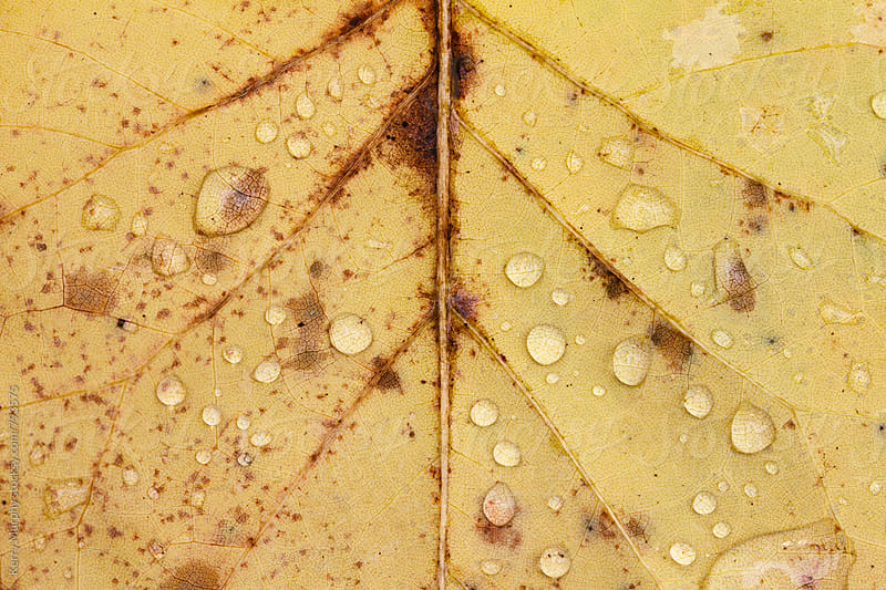 Macro of water drops on yellow autumn leaf by Kerry Murphy for Stocksy United