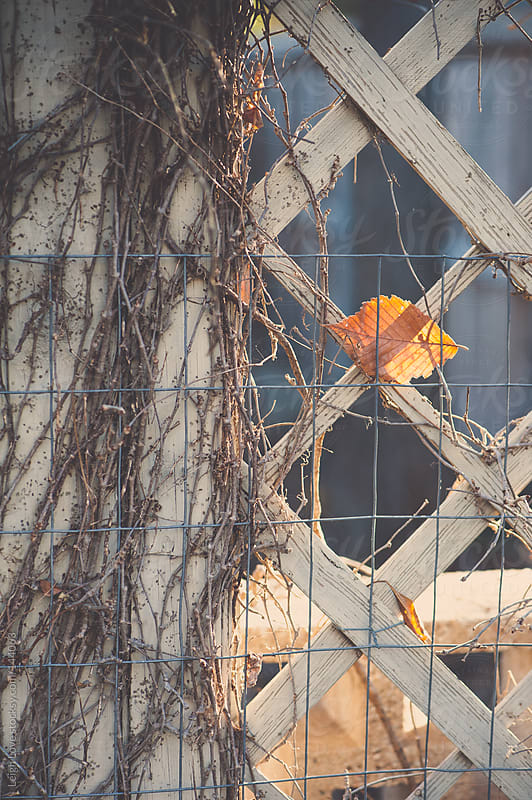 Single Leaf Caught Between Fence & Lattice by Leigh Love for Stocksy United