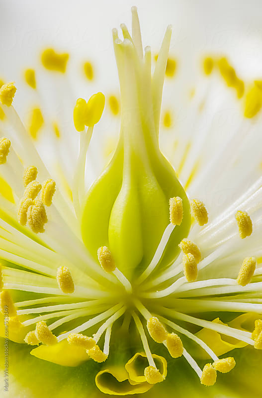 Inside a Hellebore flower, closeup by Mark Windom for Stocksy United